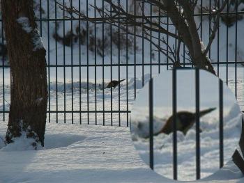 Grünspecht+auf+Nahrungssuche+im+Winter+28-12-2010.jpg