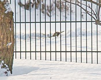 Grünspecht im Schnee