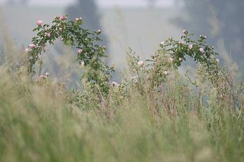 Wildrose - M.Siebner