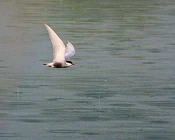 Wei�bartseeschwalbe - B.Bartsch