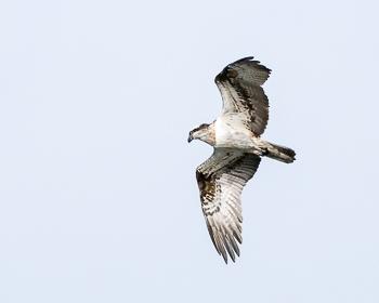 Fischadler - B.Riedel