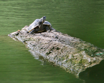 Schildkröte - Balken - MSiebner